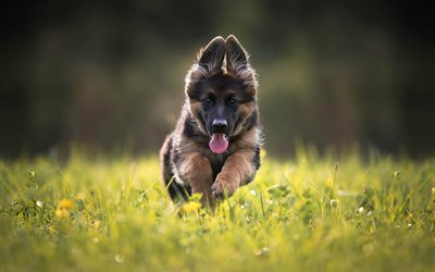 german shepherd, lawn, puppies, cute animals, running, dogs