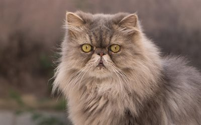 fluffy cat, cute animals, Persian cat, pets
