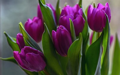 purple tulips, spring flowers, background with tulips, spring, tulips