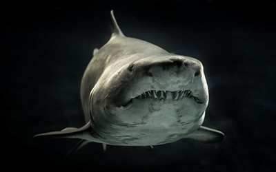 Great white shark, wildlife, close-up, predators, underwater world, shark, Carcharodon carcharias