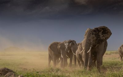 Elephants, Africa, evening, sunset, wildlife, wild animals, elephant family