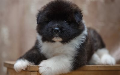 Akita, puppy, cute animals, dog, black akita puppy
