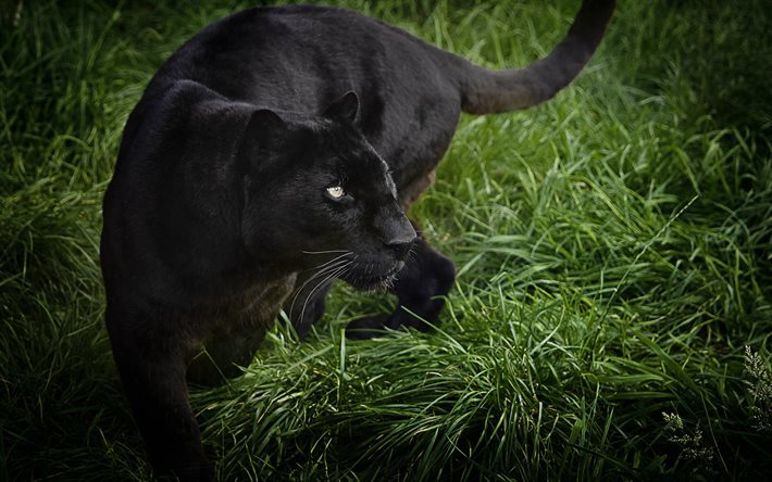 panther, raubtiere, wildtiere