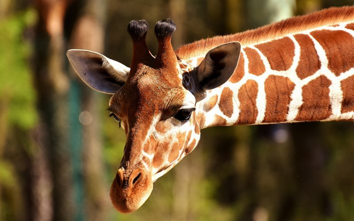 Giraffe, African animals, long neck, zoo