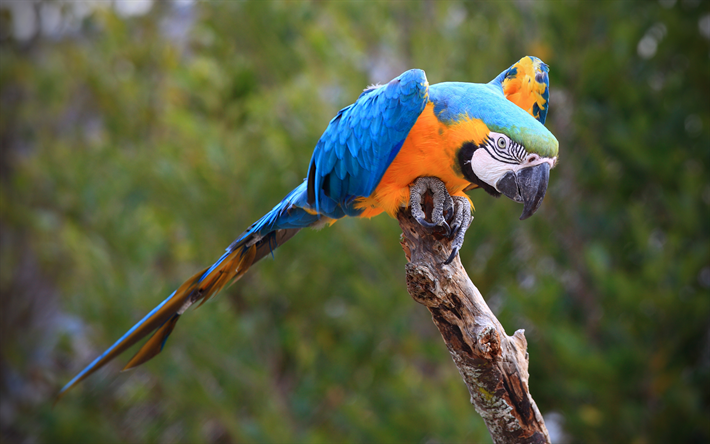 Blue-yellow macaw, beautiful bird, parrot, Ara ararauna, South American parrot, blue-and-gold macaw
