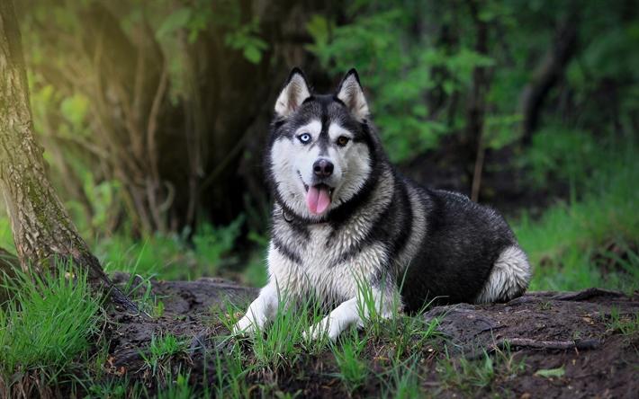 Perros Husky Siberiano Fondos De Pantalla Hd De Animales 2: Descargar Fondos De Pantalla Husky, El Bosque, Los