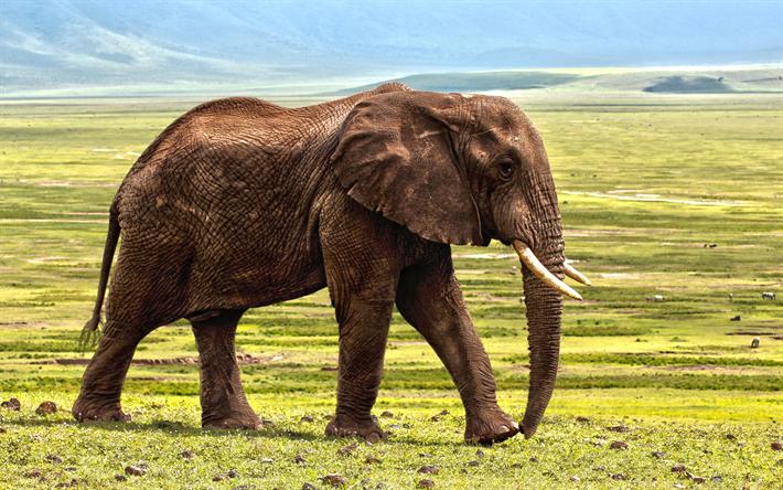 African Elephant 4k Steppe Savannah Elephants Grassland Africa