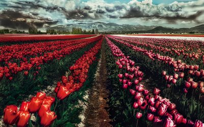 field with tulips, wild flowers, pink tulips, dark red tulips, spring flowers, mountain landscape