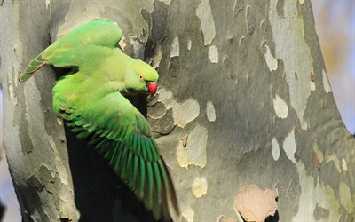 Rose-ringed parakeet, big green parrot, asia, beautiful green bird, parrots