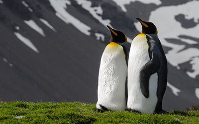 King penguins, green grass, penguins couple, flightless birds, penguins, Aptenodytes patagonicus