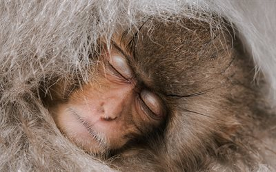 Japanese macaque, sleeping monkey, close-up, snow monkey, macaques, Macaca fuscata