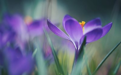 Crocuses, purple spring flower, blur, purple flowers, purple crocuses