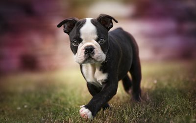 Small Boston Terrier, black puppy, dogs, cute animals, Boston Terrier, pets, puppy, Boston Terrier Dog