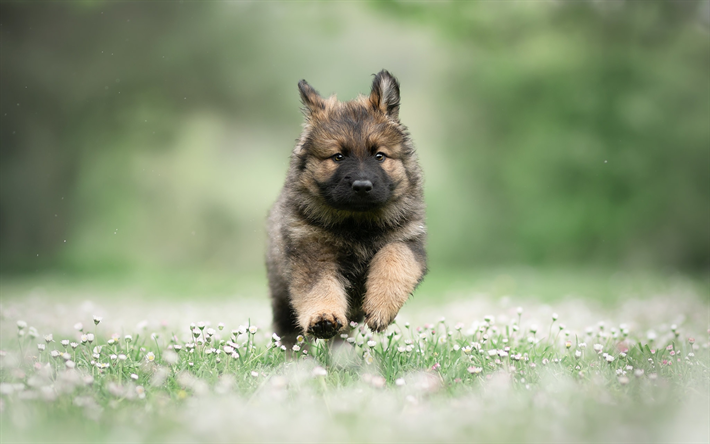 Running German Shepherd, puppy, summer, pets, cute animals, Small German Shepherd, bokeh, German Shepherd, dogs, German Shepherd Dog