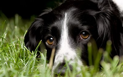 Border Collie, close-up, pets, cute animals, grass, black border collie, dogs, Border Collie Dog