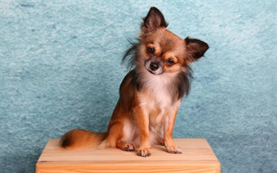Chihuahua, small brown dog, wooden chair, blue background, pets, cute animals, decorative breeds of dogs