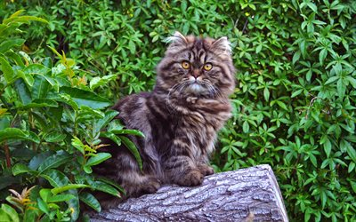 Norwegian Forest cat, gray cat, forest, fluffy big cat