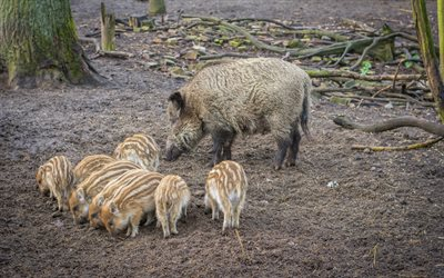 Wild pigs, wild boars, pigs, wildlife, forest