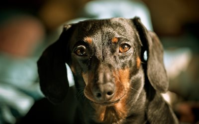dogs, dachshund, cute animals, muzzle