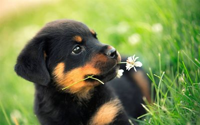 Rottweiler, 4k, lawn, close-up, pets, puppy, small rottweiler, dogs, cute animals, Rottweiler Dog
