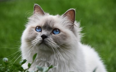 Ragdoll, big fluffy gray cat, cute animals, pets, cat with blue eyes