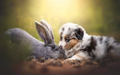 Aussie, rabbit, Australian Shepherd, friendship, dogs, Australian Shepherd Dog, pets, friends, Aussie Dog