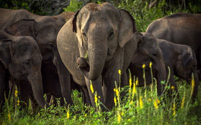 Asian elephant, wildlife, elephant family, wild animals, Sri Lanka, elephants, Asiatic elephant