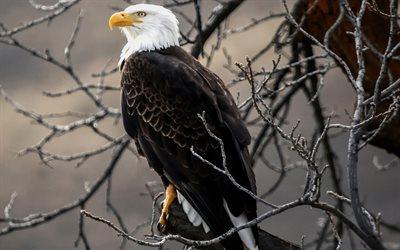 Bald Eagle, USA, eagle on branch, bird of prey, wildlife, North America