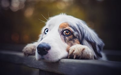 Australian Shepherd Dog, spotted dog, cute animals, Aussie, sad look, different eye color, heterochromia, dogs
