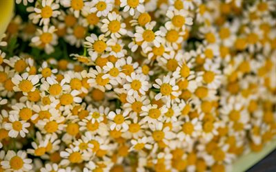 chamomile, bokeh, white flowers, daisies, summer flowers, bouquet of daisies