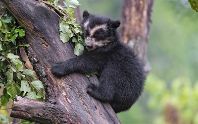 Asian black bear, little bear, moon bear, cute animals, wildlife, teddy bear, white-chested bear, Asiatic black bear