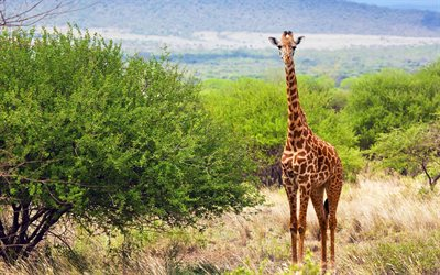 giraffe, wildlife, wild animals, giraffes Tsavo West National Park, Tsavo West, Kenya