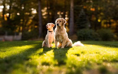 cane, verde, erba, golden retriever, animali domestici
