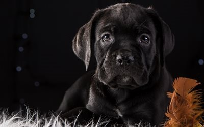 Cane Corso, 4k, puppy, cute animals, dogs