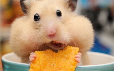 hamster, muzzle, chips, funny animals, dinner, rodents