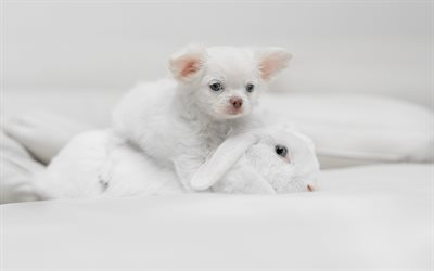chihuahua, white little puppy, pets, small white dog, white rabbit, dogs