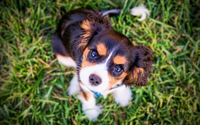 Cavalier King Charles Spaniel, 4k, pets, dogs, cute animals, puppies, Cavalier King Charles Spaniel Dog