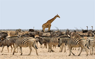 giraffes, zebras, Africa, wild animals, herd of zebras, wildlife