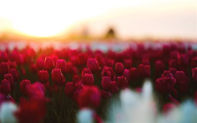 red tulips, 4k, field, bokeh, blur, sunset