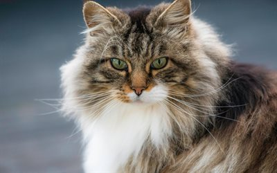 furry cat, pets, Norwegian forest cat, cute animals, cats