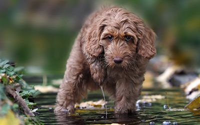 labradoodle, puppy, small dog, cute animals, dogs, water