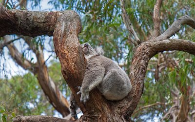 sleeping koala, cute animals, koala, wildlife, wild animals, Australia