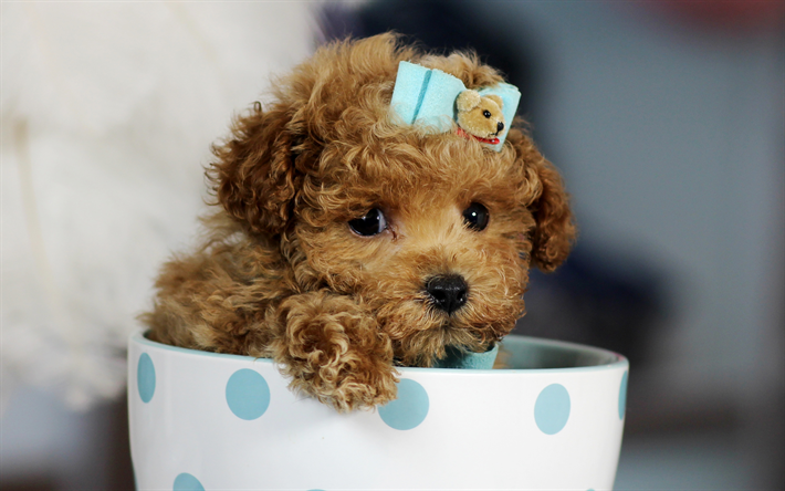 download wallpapers brown dog poodle cute animals 4k