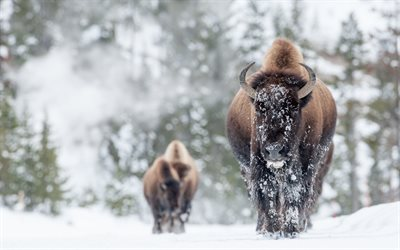 bison, winter, forest, snow, wildlife