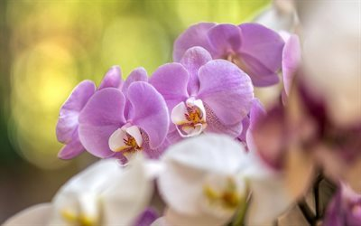 orchids, tropical flowers, pink orchid, orchid branch