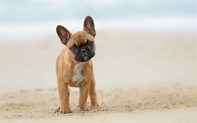 french bulldog, 4k, pets, puppy, dogs, brown french bulldog, cute animals, bulldogs, french bulldog dogs