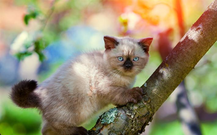 t l charger fonds d 39 cran balinais chat 4k chaton chats animaux mignons les animaux de. Black Bedroom Furniture Sets. Home Design Ideas