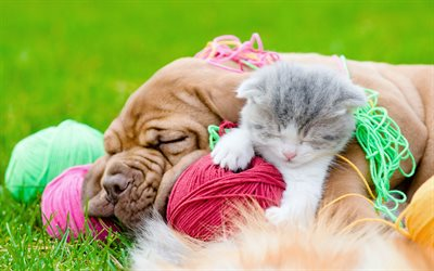 4k, Scottish Fold, Bordeaux mastiff, kitten and puppy, friendship, pets, cute animals, friends, Dogue de Bordeaux, Scottish Fold cat, dogs, kitten, French mastiff, cat and dog