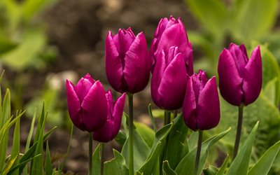 purple tulips, background with tulips, spring flowers, floral spring background, tulips