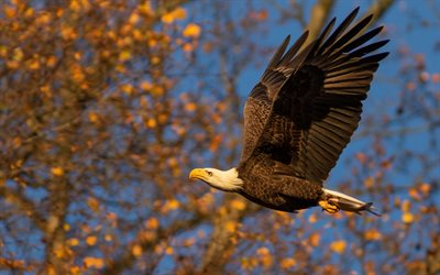 4k, flying bald eagle, close-up, american symbols, hawk, wildlife, symbols of USA, bald eagle, Haliaeetus leucocephalus